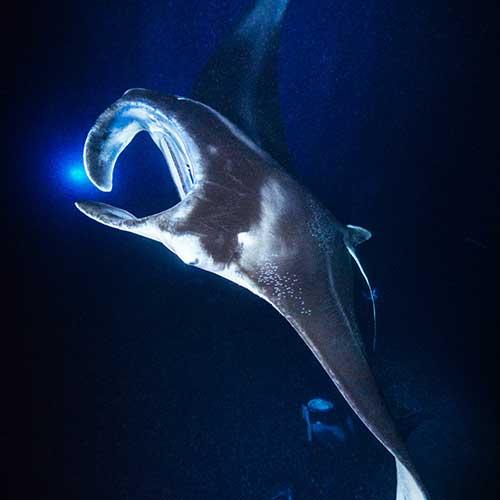 Manta Night Snorkel Charter